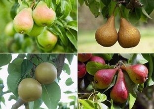 Pear Trees Types  Pear tree varieties are many and you can select cultivars based on the fruit taste, yield, and required growth conditions. Provided that you plant them in sunlit areas and fertile soil, most types of pear trees bear fruits with least maintenance.