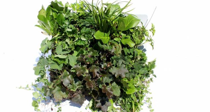 Flexipanel - SemperGreenwall - groene gevel - verticale tuin - groene wand…