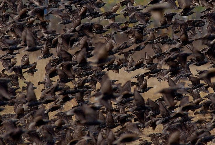 the starlings by www.chettusia.com