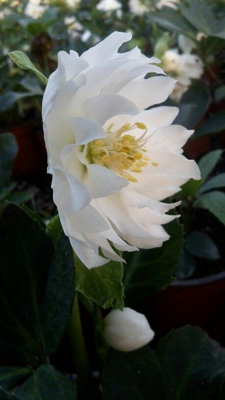 niger Double Ellen flower