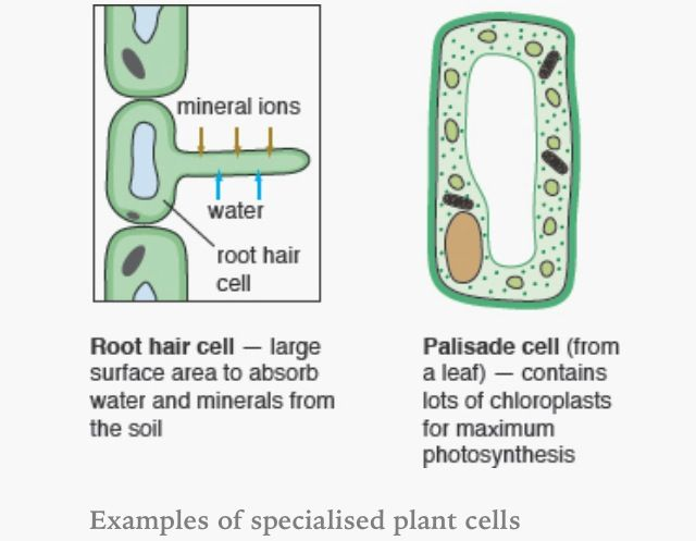specialised plant cells bio cells plant cell cell diagram ideas cell city cell diagram #2
