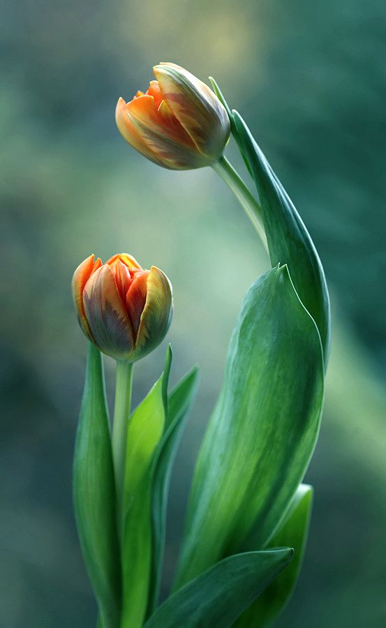 Tulips by Mycatherina on 500px