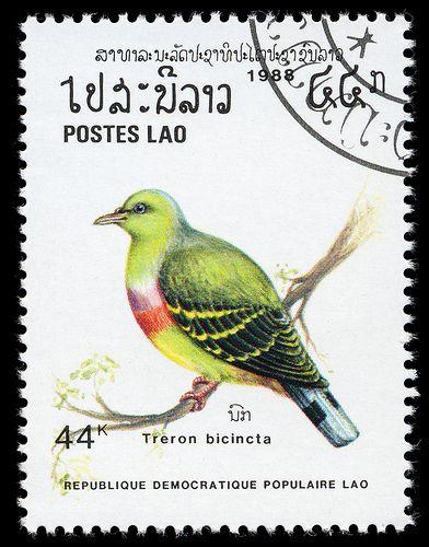 Treron bicincta, Laos, 1988