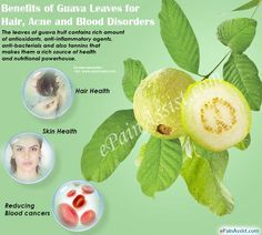 Benefits of Guava Leaves for Hair, Acne and Blood Disorders #GuavaLeavesforHair ##GuavaLeavesforAcne ##GuavaLeavesforBloodDisorders #GuavaLeaves #guavafruit #Guavabenefitstohealth #diet #healthcare #ePainAssist Read: http://www.epainassist.com/diet-and-nutrition/benefits-of-guava-leaves-for-hair-acne-and-blood-disorders