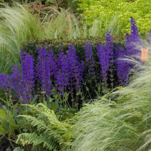 Salvia nemorosa Mainacht - Sauge des bois bleu violet