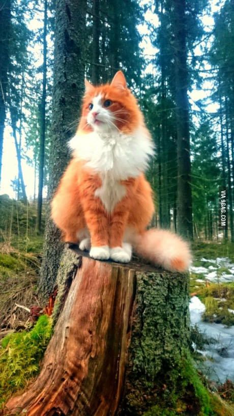 A Norwegian forest cat perched on a tree stump