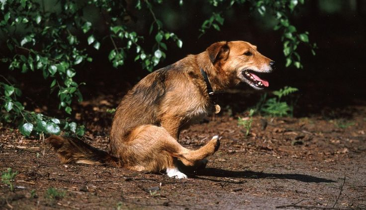 cachorro esfregando bumbum no chão