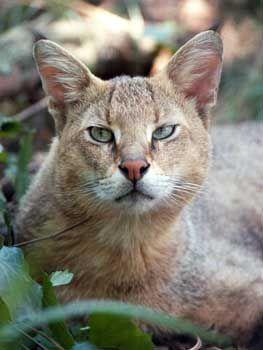 Rambo the Jungle Cat at Big Cat Rescue #junglecat #junglecats