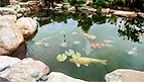 Want a fish pond in my garden one day!