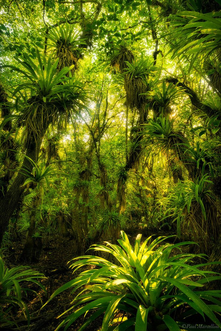 This is deep in the Fakahatchee, called the Amazon of North America.  Florida by Paul Marcellini on 500px