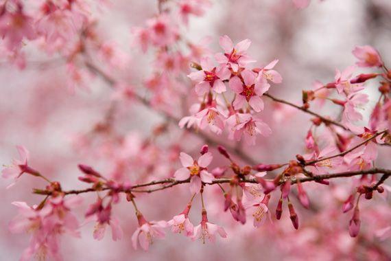 Okame cherry (Prunus 'Okame')