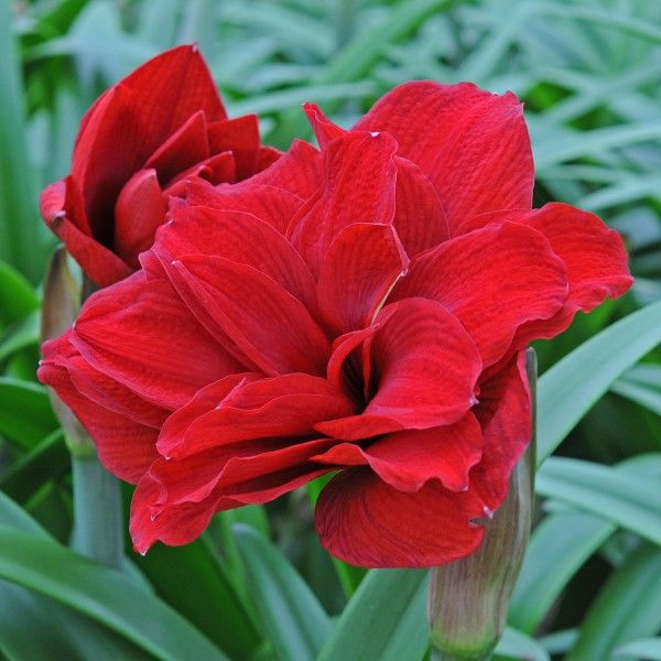 Amaryllis Pflanzen 203 Best Amaryllis (hippeastrum) Images On Pinterest