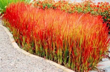 Ornamental Grass. Red Baron. Invasive like Japanese blood grass? How gorgeous would this be in a pot, especially in the fall.