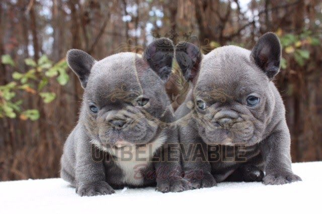French Bulldog Puppies English Bulldog Puppies Atlanta S Petland