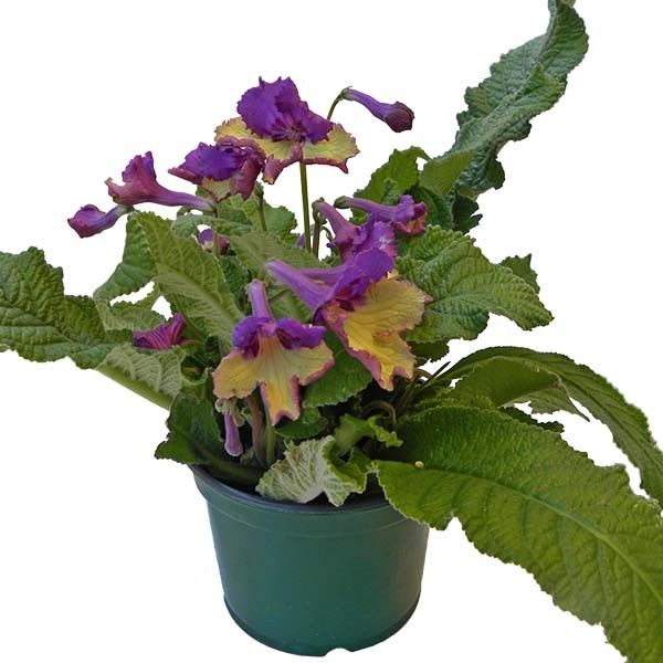 ravishing house plants care. Cape Primrose  Yellow with Purple Cap Streptocarpus hybrid This new introduction in the world of cape primroses has lovely two tone flowers to delight 24 best Varieties images on Pinterest Houseplants