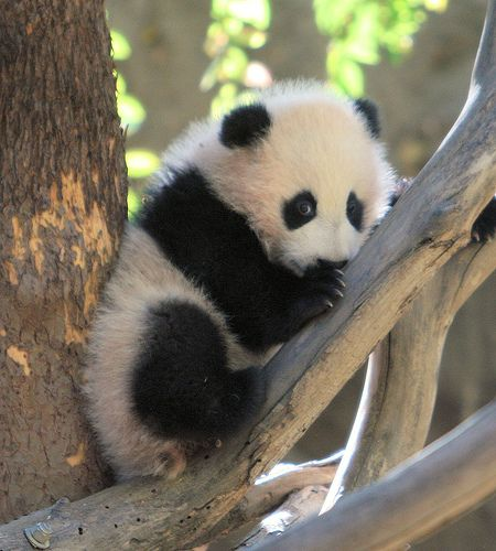 cute baby panda | ... Cute baby-anything photos and videos from around the Web » baby