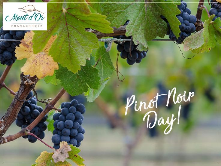 In celebration of Pinot Noir Day today, here are a list of wine farms in Cape Town with the best Pinot Noir wines: http://ow.ly/4Q9M30enf0i