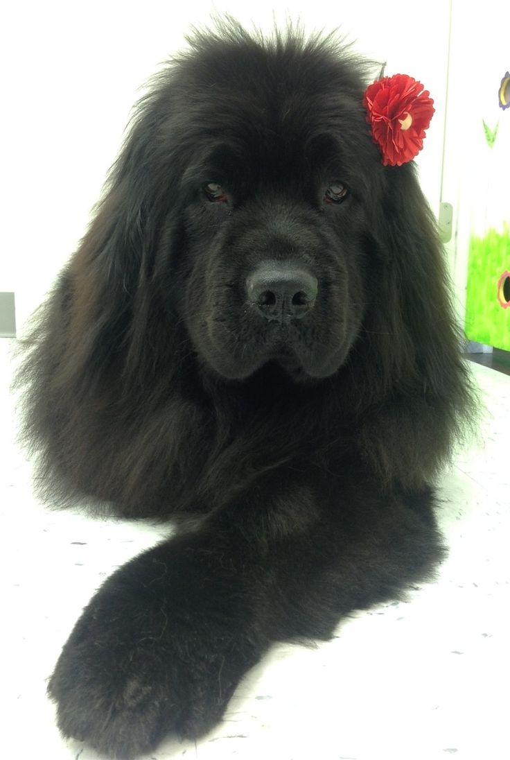 Newfoundland dog Roxy, at Me 'n Mom's Doggy Shop in Abbotsford.