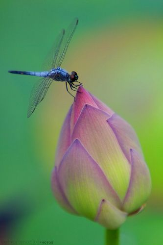 Dragonfly on Bud.: Butterflies Dragonfly, Lotus Blossoms, Color, Purple Flowers, Beautiful, Dragon Flying, Insects, Dragonflies, Animal