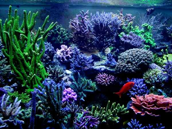 hard corals saltwater reef and aquariums pinterest