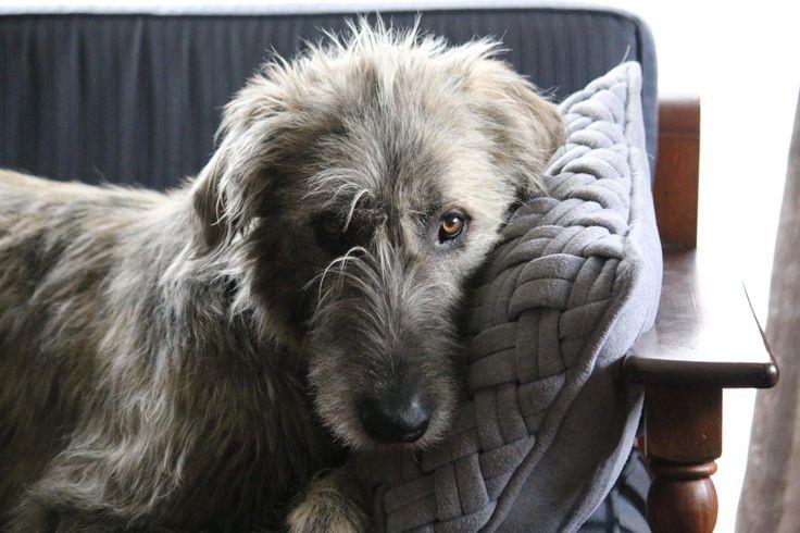 #irishwolfhound