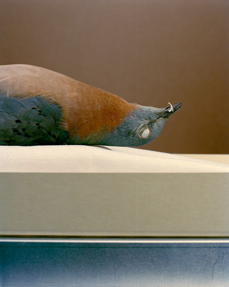 """Joann Brennan, """"Extinct Species, Passenger Pigeon"""" - The Singing and the Silence: Birds in Contemporary Art / Smithsonian American Art Museum"""