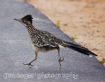 roadrunner - Northern Illinois Birder: Greater Roadrunner - Western Birds