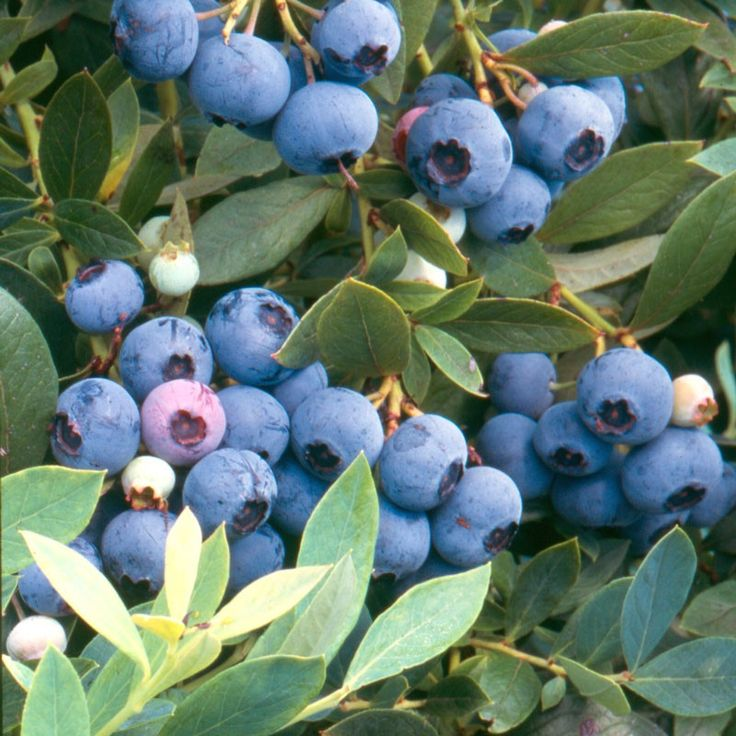 Sunshine Blue Blueberries: For gardens from San Diego to Seattle, Sunshine Blue has it all. This semi-dwarf, versatile evergreen blueberry features showy hot pink flow...