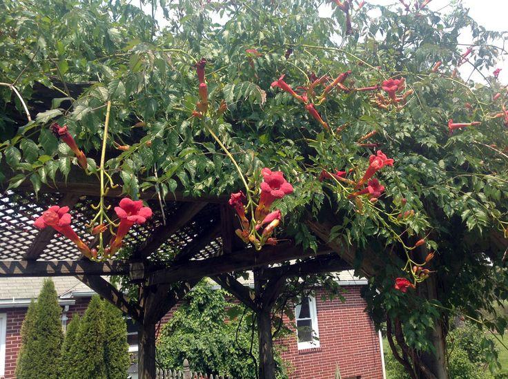 De rode trompetklimmer (Campsis radicans) klimt zelf omhoog langs muren en schuttingen. Deze plant heeft hechtwortels waarmee de takken zich vastzuigen aan hun ondergrond.