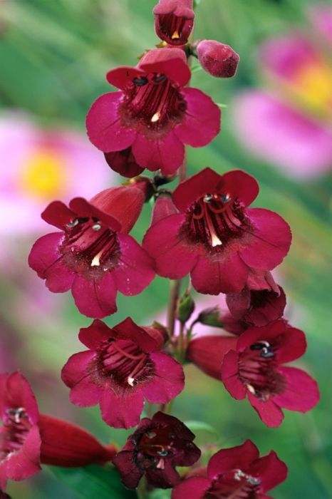 Buy Penstemon Rich Ruby Online | Hayloft Plants