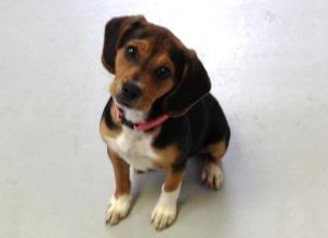 Diamond is an adoptable Beagle Dog in Burgaw, NC. Diamond is 4 months old. She has such a sweet personality and just loves everyone.She is half Beagle and half Miniature Pinscher so she will likel...
