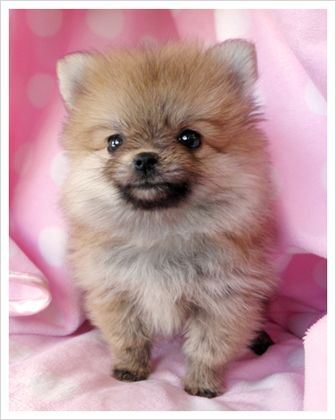 Teacup Pomeranian, if I wasn't so against breeders  I would get one.