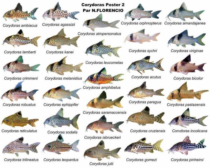 Corydoras plate 2 aquarium fish corydoras pinterest for Types of edible fish