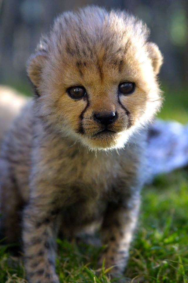 Cheetah cub growing up © Leah Brousse - at @inverdoorn