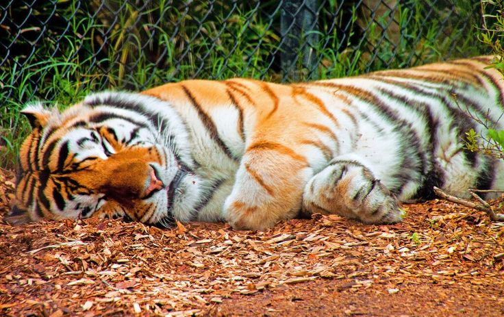 Shhhhhhhhhh! You'll wake Mike VI. #lsu