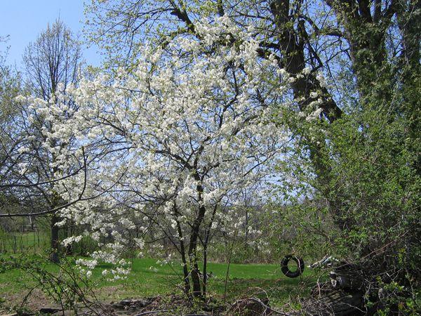 Prunus nigra, Canada Plum
