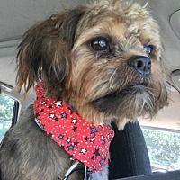 Rochester, New York - Shih Tzu. Meet Murphy - Courtesy, a for adoption. https://www.adoptapet.com/pet/19545847-rochester-new-york-shih-tzu