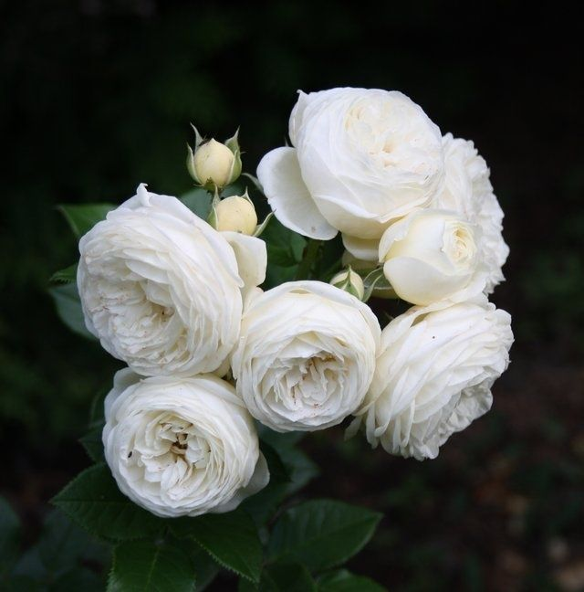 'Artemis ' Rose Photo (Tantau)