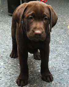 lab: Home Remedies, Labrador Retriever, Dogs Remedies, Dogs Breeds, Chocolate Labs, Pet, Chocolates Labs Puppys, Diy Home, Upset Stomach
