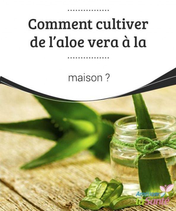 Comment Cultiver L Aloe Vera A La Maison Essential Oil Plants Aloe Vera Succulent Cuttings