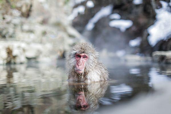 Japan's Hot Spring Bathing Snow Monkeys | http://wanderthemap.com/2015/08/japans-hot-spring-bathing-snow-monkeys/