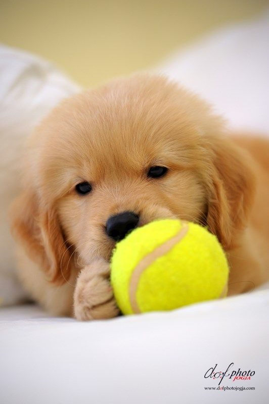 A Golden Retriever and tennis? I'm in love!