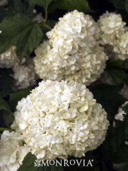 Eastern Snowball plants - Google Search