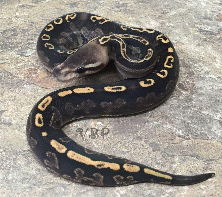 Black Pastel GHI Ball Python by Vesper Ball Pythons - MorphMarket