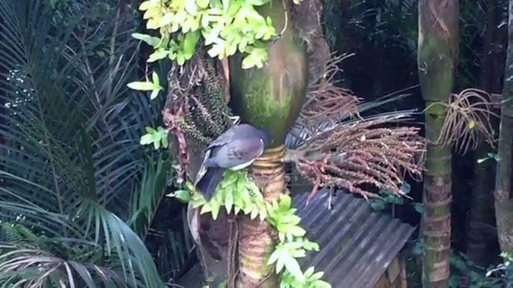 Kereru (New Zealand wood pigeon) feeding on nikau berries