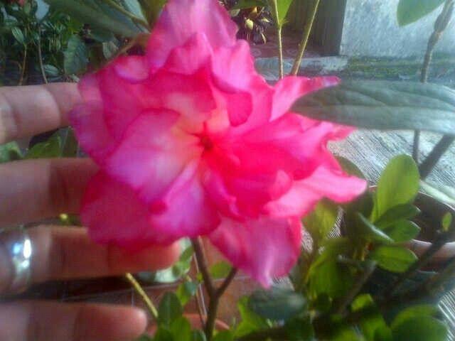 cantik nya azalea