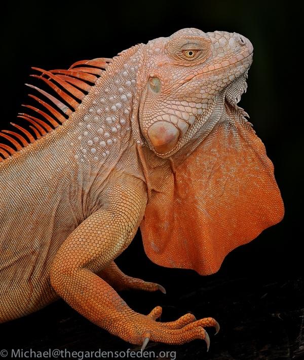 Photo Iguana Albino By Michael Kern