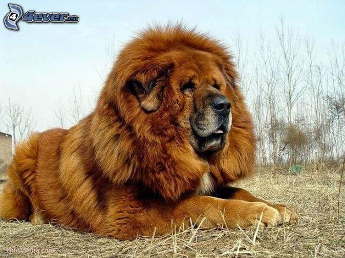 Tibet-Dogge