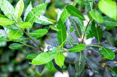 日本名は月桂樹(ゲッケイジュ)、というとスープやシチューなど料理に使うあの乾燥した葉っぱを思い出しますよね。甘くスパイシーな香りの精油は防腐、抗生物質、抗神経痛、抗痙攣、鎮痛などの働きがあり、精神面では自己評価が低い方におすすめの精油です。#エッセンシャルオイル#アロマレシピ#アロマテラピー#ハーブ#ガーデニング