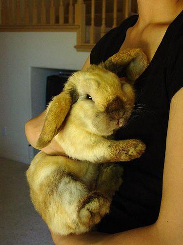 Lop bunny | Flickr - Photo Sharing!